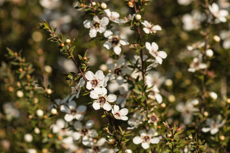 closeup of manuka flowers Stock Photo