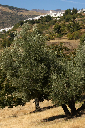 sierra nevada mountain range: olive grove near Capileira in Alpujarras Stock Photo