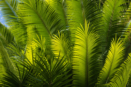 fronds: sunlit palm tree fronds Stock Photo