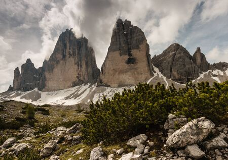 mugo: dwarf pine growing at Drei Zinnen peaks in Dolomites