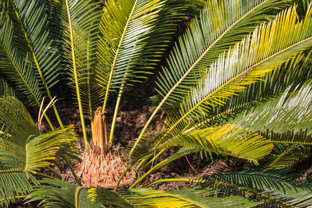 cycad: sago cycad leaves and rosette Stock Photo
