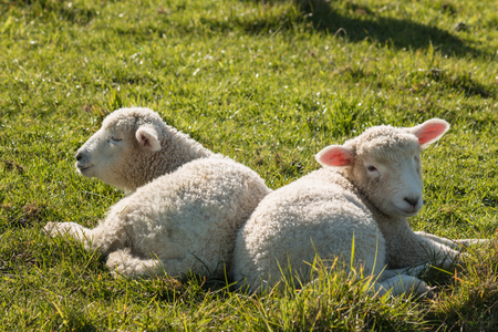 basking: two newborn lambs basking on grass