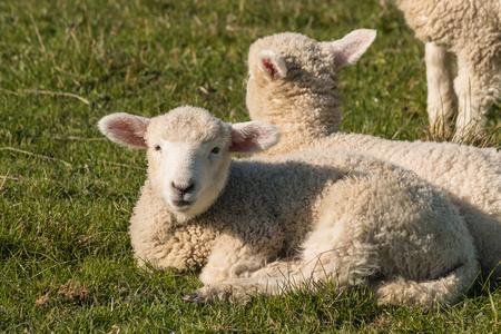 basking: closeup of basking lambs