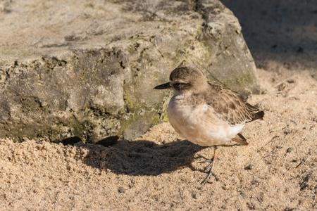 basking: New Zealand plover basking on sand