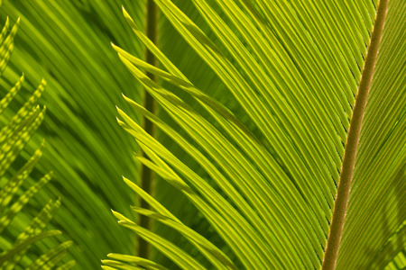 cycad: closeup of cycad palm leaf Stock Photo