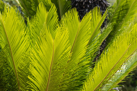 cycad: cycad plant  leaves