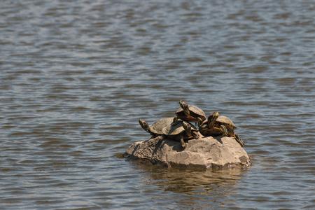basking: red-eared slider turtles basking on rock Stock Photo