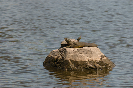 basking: softshell turtle and red-eared slider basking on rock
