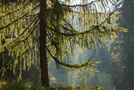 larch tree: backlit larch tree in forest Stock Photo