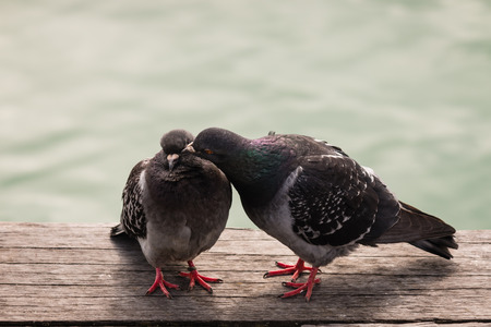 courting: courting feral pigeons