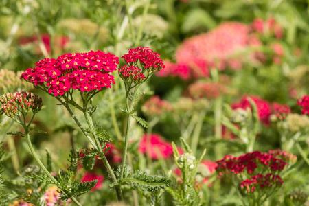 yarrow: pink yarrow flowers Stock Photo