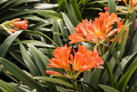 closeup of clivia miniata flowers