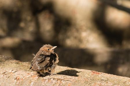 basking: baby blackbird basking on tree branch