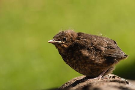 basking: young blackbird basking on tree Stock Photo