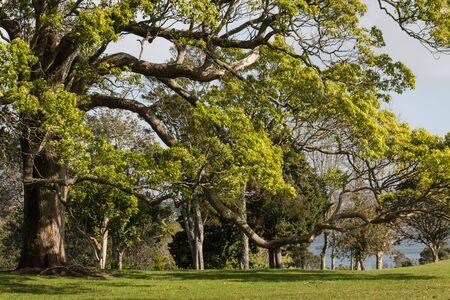 gran fresno creciendo en el parque