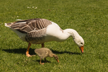 gosling: goose and gosling grazing on meadow