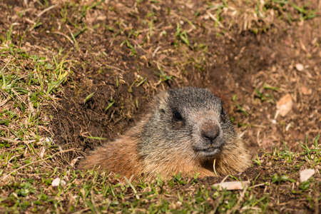 hibernate: alpine marmot in burrow