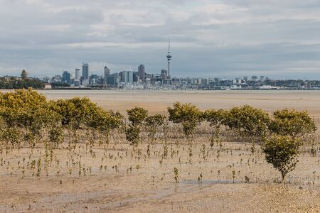 swamps: mangrove swamps in Auckland at low tide