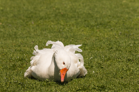 nibbling: domestic goose resting on grass
