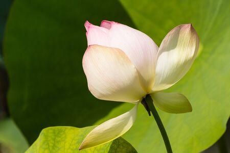 nelumbo nucifera: closeup of lotus flower bud Stock Photo