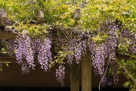 bloom: Japanese wisteria flowers in bloom Stock Photo
