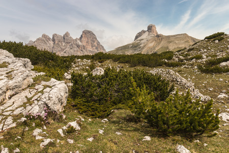 mugo: dwarf pine shrubs growing on alpine meadow Stock Photo