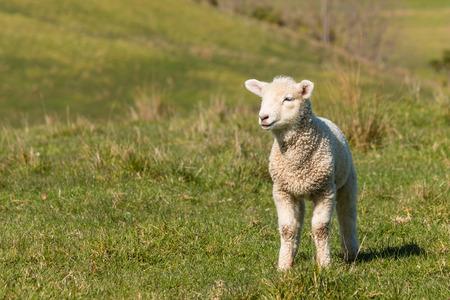 the lamb: curious lamb standing on grass