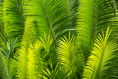 cycas: sunlit palm leaves