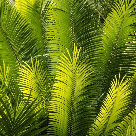 cycas: closeup of backlit palm fronds