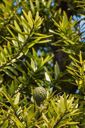 closeup of kauri tree cone and leaves