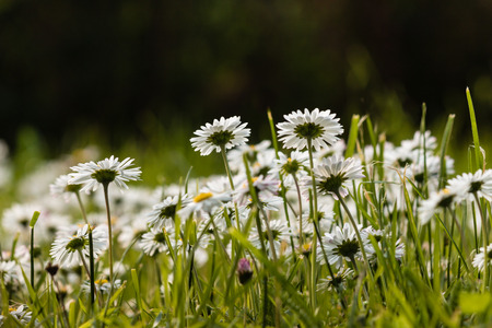 low  angle: low angle view of common daisies growing on meadow Stock Photo