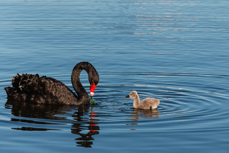 black swan with cygnet searching for food
