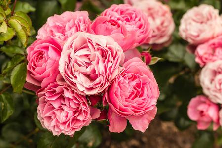 hybrid: pink hybrid roses in bloom