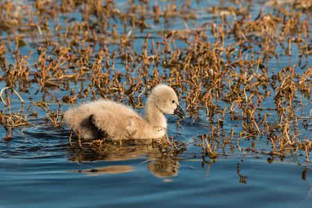 cygnet: black swan cygnet searching for food Stock Photo