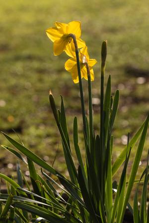 iluminado a contraluz: narcisos amarillos retroiluminados Foto de archivo
