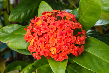 tropical shrub: flame of the woods flowers
