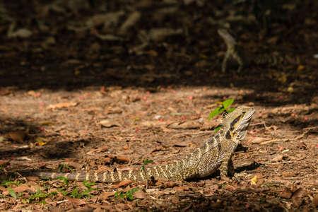 basking: Australian water dragon basking on dry leaves