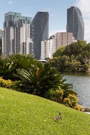 towerblock: water dragon resting on grass  with skyscrapers in background Stock Photo