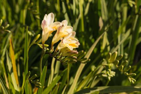 freesia: yellow freesia flowers in bloom
