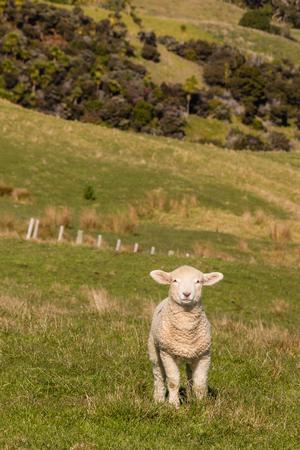 curious lamb standing in paddock