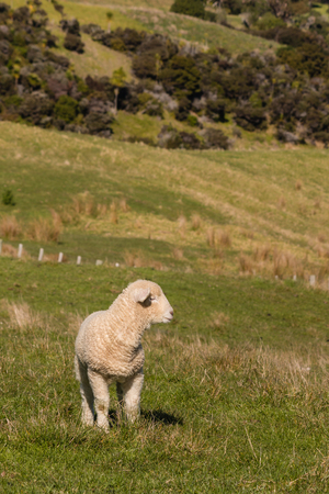 watchful: watchful lamb standing on pasture