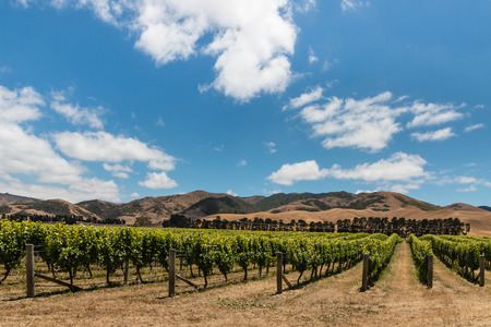 vineyard plain: vineyard plantation in Wither Hills, New Zealand Stock Photo