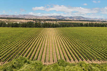 wither: Wither Hills vineyards in New Zealand
