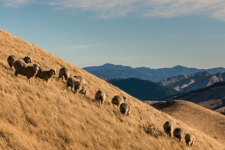 slope: flock of sheep grazing on slope
