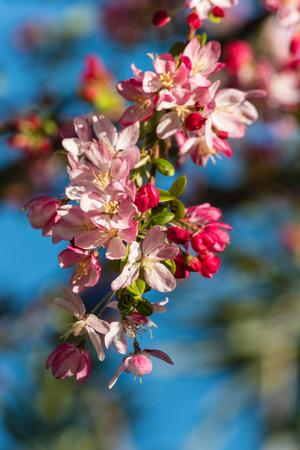arbol de manzanas: flores de manzano en flor