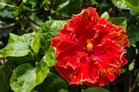 spotted flower: red and yellow spotted hibiscus flower