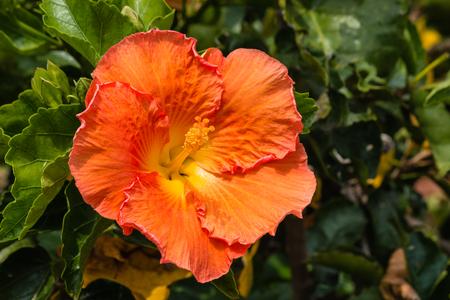 hibiscus: iluminada por el sol flor de hibisco naranja Foto de archivo