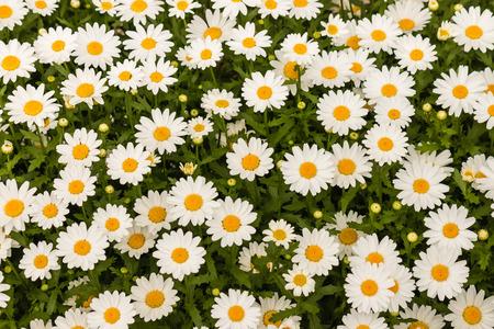 oxeye: oxeye daisies background