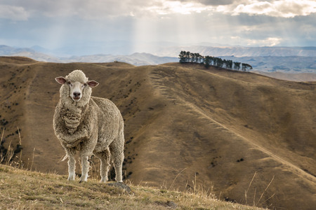 curious merino sheep standing on grassy hill Foto de archivo