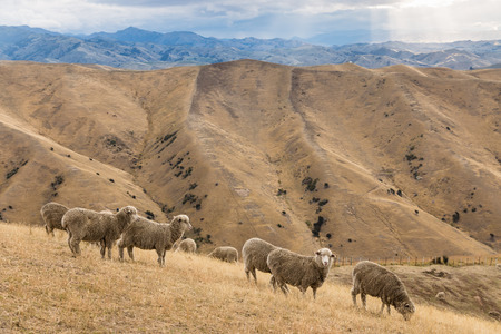 wither: flock of merino sheep grazing on Wither Hills in New Zealand Stock Photo